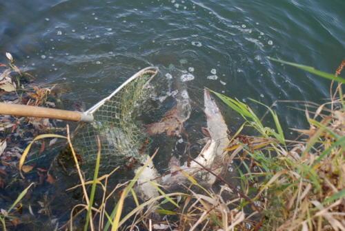Fischbesatz 2 2009